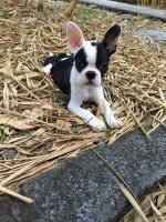Boston terrier hembra muy juiciosa de 3 meses