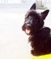 Busco novia de raza scottish terrier