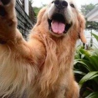 Lindos y Disponibles Golden Retriver Cachorro