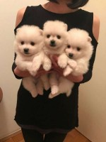 Adorable White Cream Tiny Teacup Cachorros Po